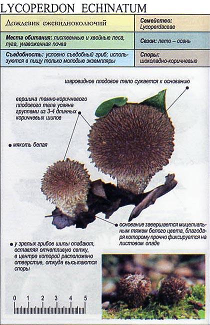 Дождевик ежевидноколючий / Lycoperdon echinatum