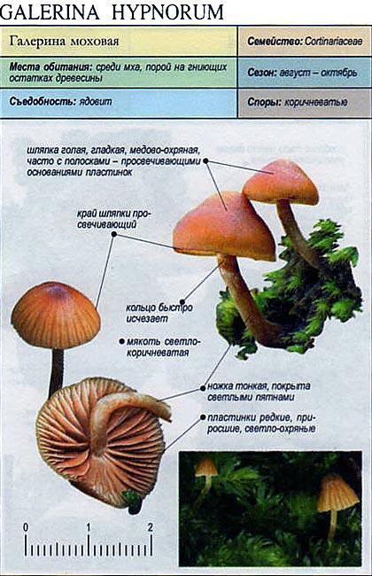 Галерина моховая / Galerina hypnorum