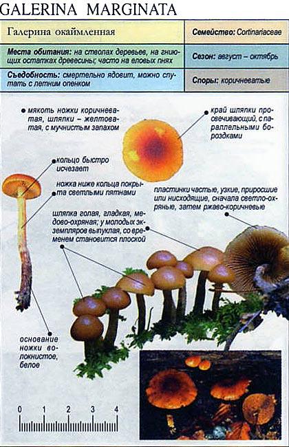 Галерина окаймленная / Galerina marginata