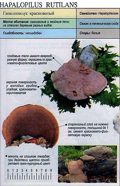 Гапалопилус красноватый / Hapalopilus rutilans