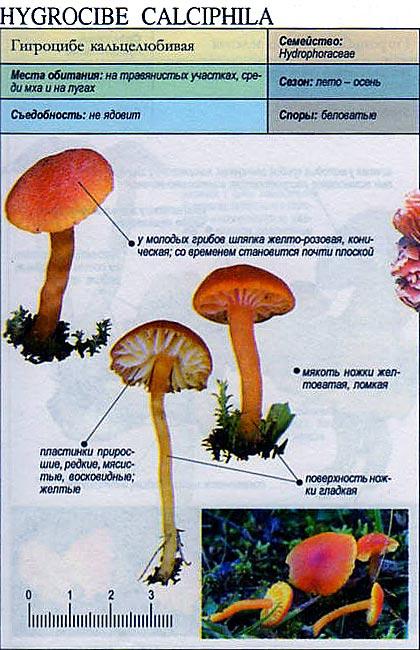 Гигроцибе кальцелюбивая / Hygrocybe calciphila