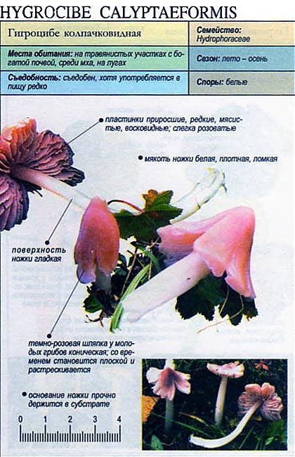 Гигроцибе колпачковидная / Hygrocibe calyptaeformis