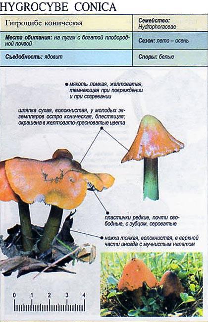 Гигроцибе коническая / Hygrocybe conica