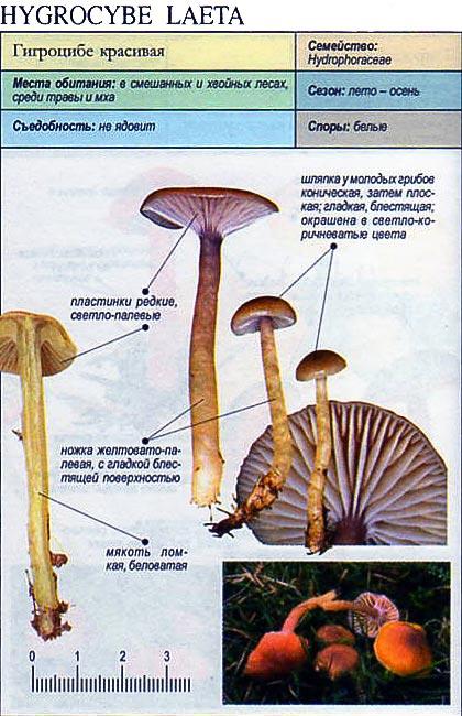 Гигроцибе красивая / Hygrocybe laeta