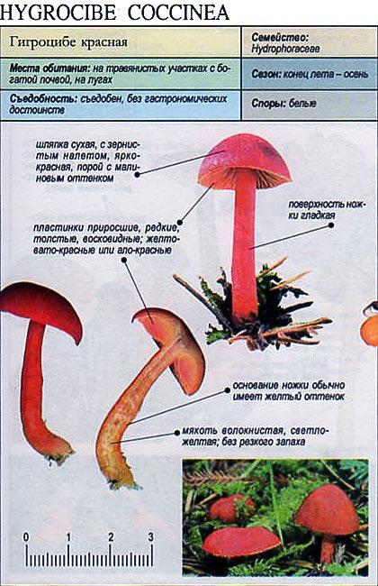 Гигроцибе красная / Hygrocibe coccinea