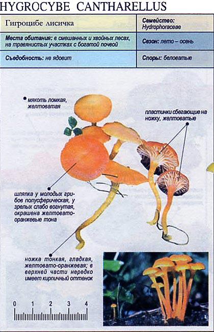 Гигроцибе лисичка / Hygrocybe Cantharellus