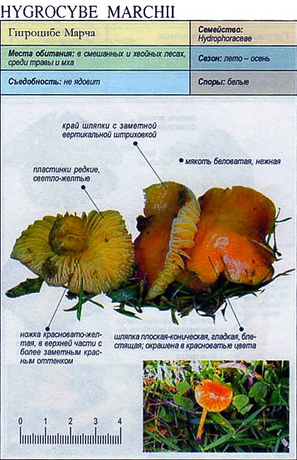 Гигроцибе Марча / Hygrocybe Marchii