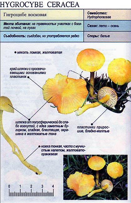 Гигроцибе восковая / Hygrocybe ceracea