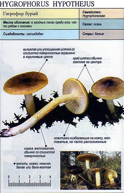 Гигрофор бурый / Hydrophorus hypothejus