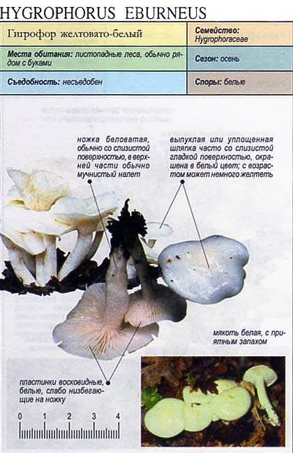 Гигрофор желтовато-белый / Hydrophorus eburneus