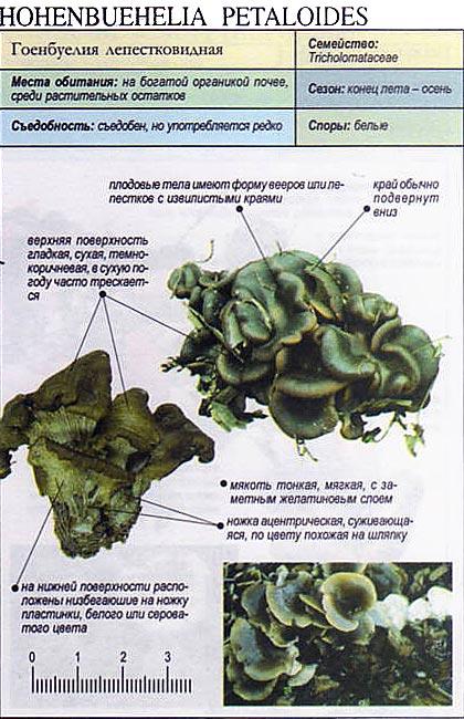 Гоенбуелия лепестковидная / Hohenbuehelia petaloides