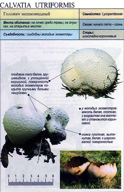 Головач мешковидный / Calvatia utriformis
