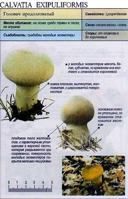 Головач продолговатый / Calvatia exipuliformis