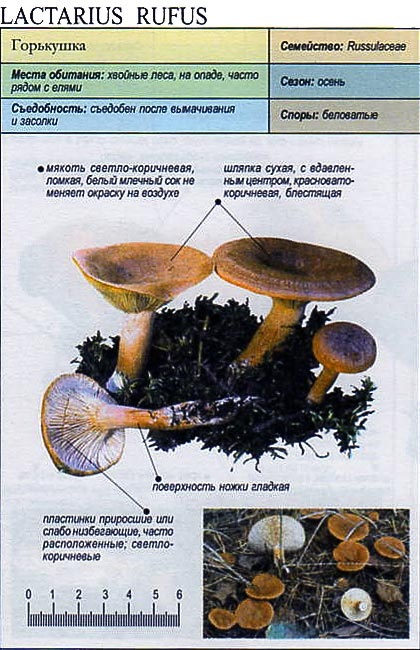 Горькушка / Lactarius rufus