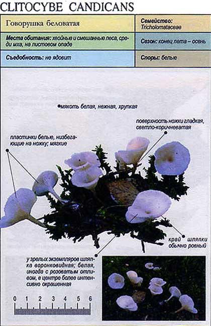 Говорушка беловатая / Clitocybe candicans