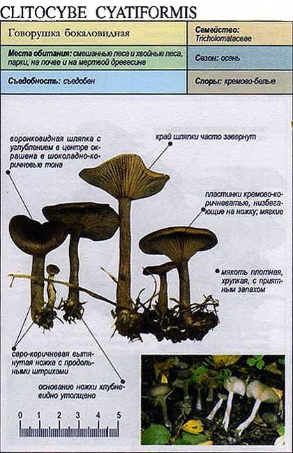 Говорушка бокаловидная / Clitocybe cyatiforvis