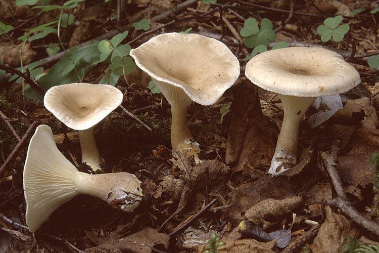 Говорушка булавоногая (Clitocybe clavipes)
