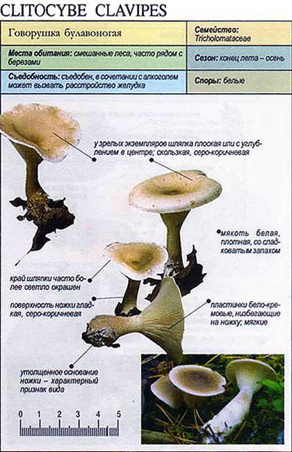 Говорушка булавоногая / Clitocybe clavipes