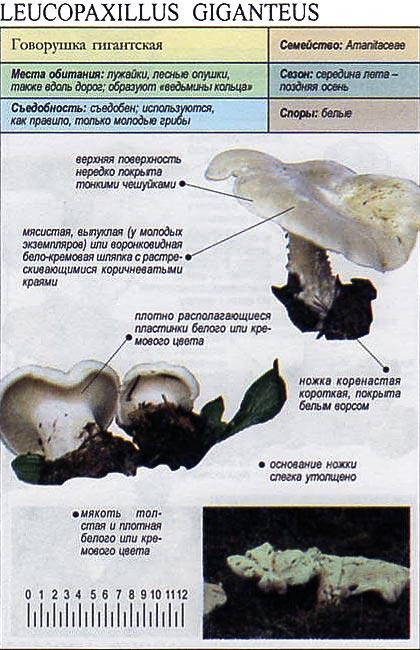 Говорушка гигантская / Leucopaxillus giganteus