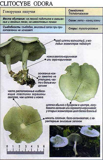 Говорушка пахучая / Clitocybe odora