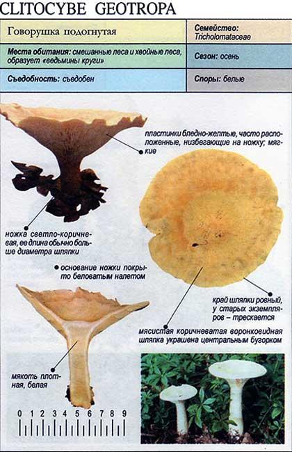 Говорушка подогнутая / Clitocybe geotropa