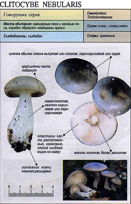 Говорушка серая / Clitocybe nebularis
