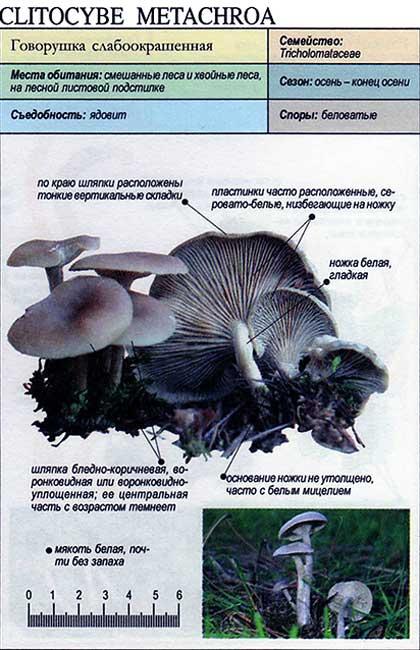 Говорушка слабоокрашенная / Clitocybe metachroa