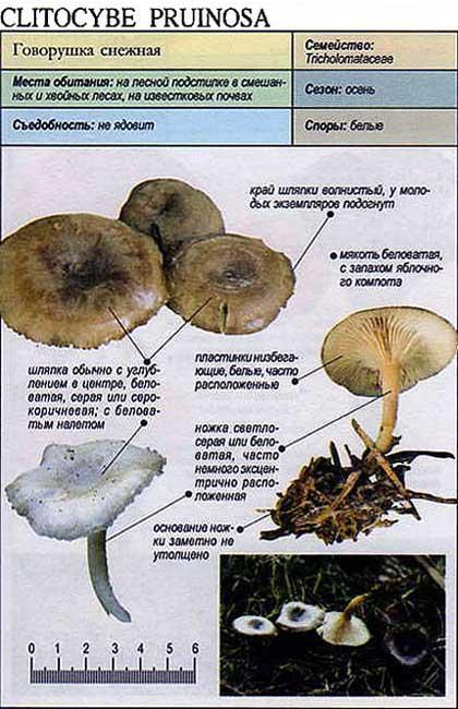 Говорушка снежная / Clitocybe pruinosa