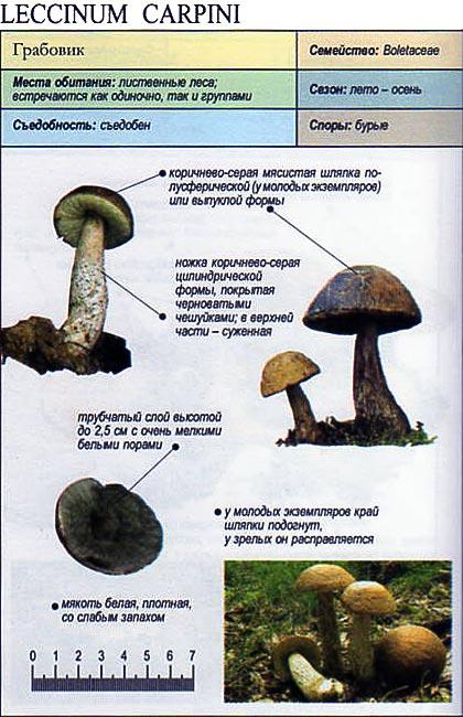 гриб грабовик фото и описание