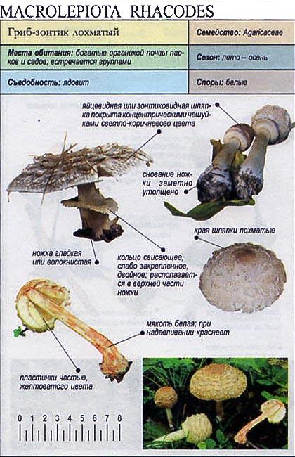 Гриб-зонтик лохматый / Macrolepiota rhacodes
