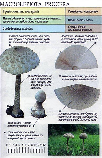Гриб-зонтик пестрый / Macrolepiota procera