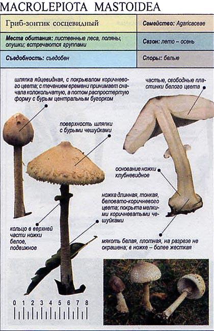 Гриб-зонтик сосцевидный / Macrolepiota mastoidea