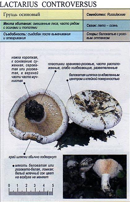 Груздь осиновый / Lactarius controversus