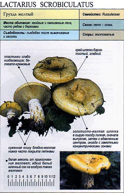Груздь желтый / Lactarius scrobiculatus
