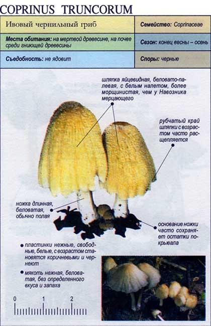 Ивовый чернильный гриб / Coprinus truncorum