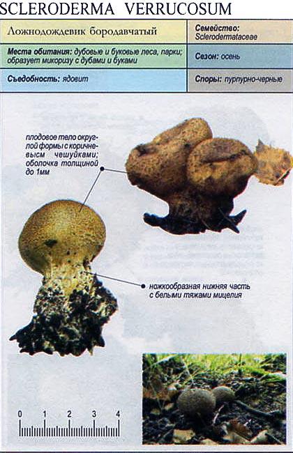 Ложнодождевик бородавчатый / Scleroderma verrucosum