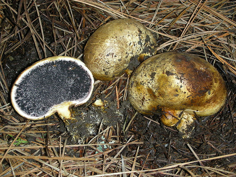 Ложнодождевик луковичный (Scleroderma cepa)