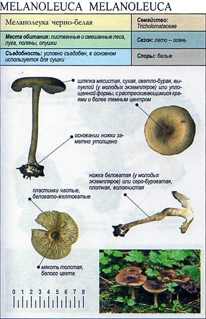 Меланолеука черно-белая / Melanoleuca melanoleuca