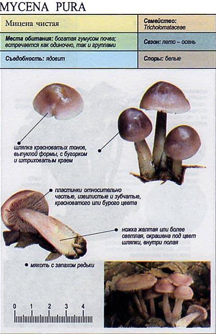 Мицена чистаяъ / Mycena pura