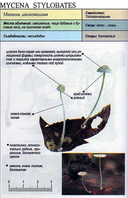 Мицена дисковидная / Mycena stylobates