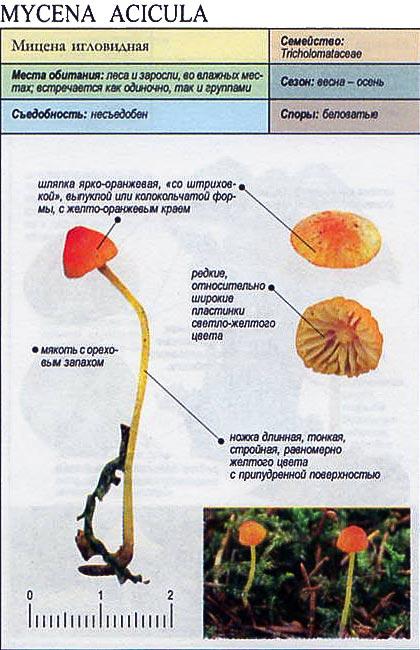 Мицена игловидная / Mycena acicula