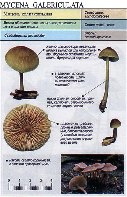 Мицена колпаковидная / Mycena galericulata