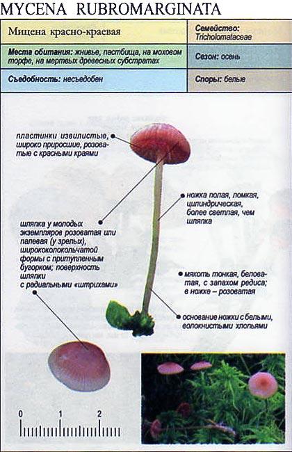 Мицена красно-краевая / Mycena rubromarginata