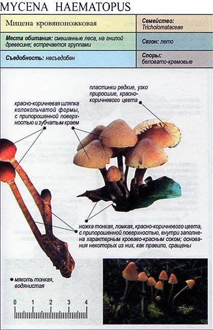 Мицена кровяноножковая / Mycena haematopus