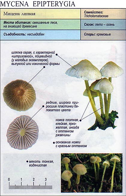 Мицена липкая / Mycena epipterygia