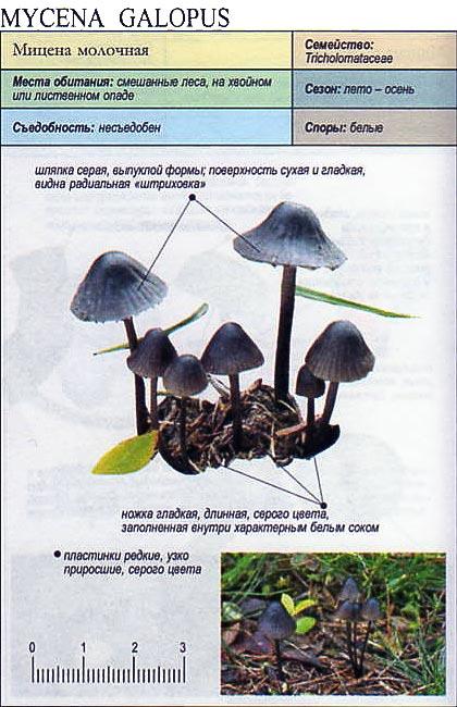 Мицена молочная / Mycena galopus