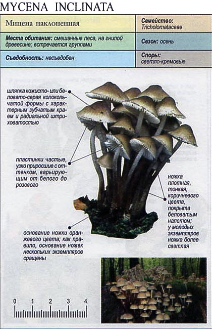 Мицена наклоненная / Mycena inclinata