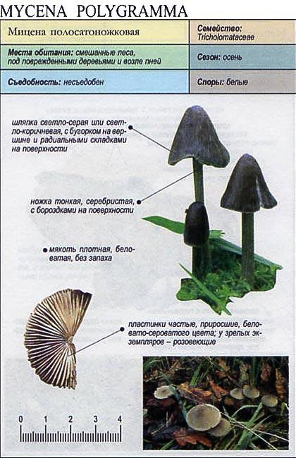 Мицена полосатоножковая / Mycena polygramma