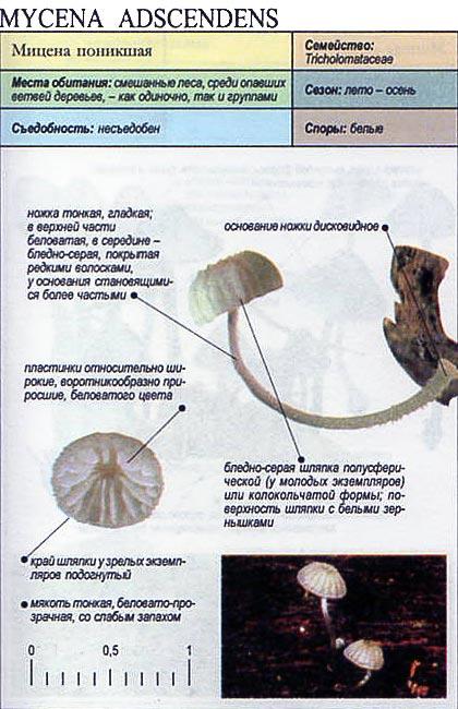 Мицена поникшая / Mycena adscendens