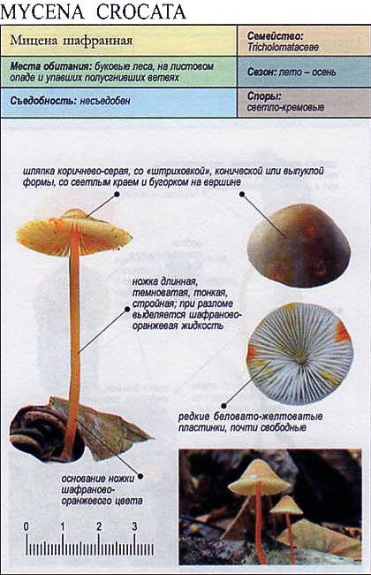 Мицена шафранная / Mycena crocata